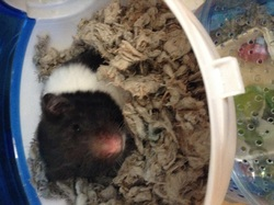Soushie , rongeur Hamster