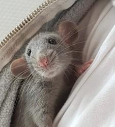 Soy, rongeur Rat