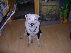Spaky, chien Rottweiler