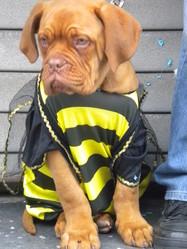 Sparco, chien Dogue de Bordeaux