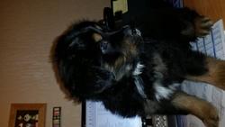 Sparco, chien Bouvier bernois