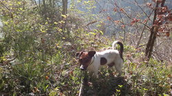 Sparco, chien Jack Russell Terrier