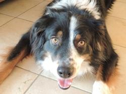 Sparky, chien Berger australien