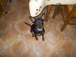 Sparky, chien Pinscher
