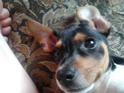 Sparo, chien Jack Russell Terrier