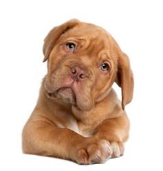 Spartacusse, chien Rottweiler