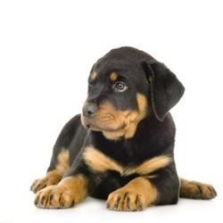 Spawn, chien Rottweiler