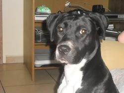 Spayki, chien American Staffordshire Terrier