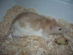 Spedy , rongeur Rat