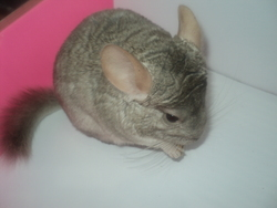 Speed, rongeur Chinchilla
