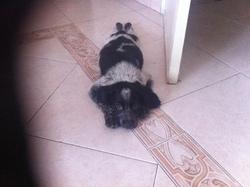 Speed, chien Épagneul breton