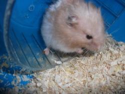 Speedie, rongeur Hamster