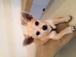Speedy , chien Chihuahua
