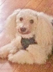 Speedy, chien Bichon à poil frisé