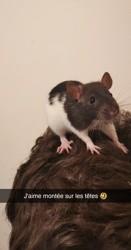 Speedy, rongeur Rat