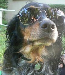 Speedy, chien Épagneul breton