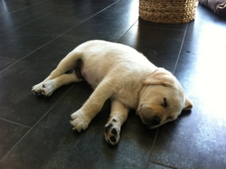 Speedy, chien Labrador Retriever