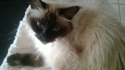 Speedy, chat Birman