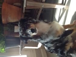 Speedy, chien Berger australien