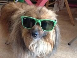Speeky, chien Spitz allemand