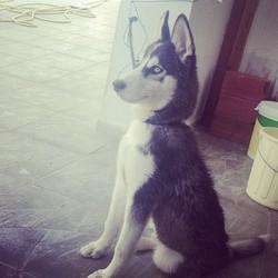 Spencer, chien Husky sibérien
