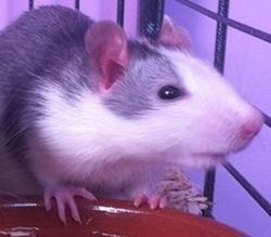 Spencer, rongeur Rat