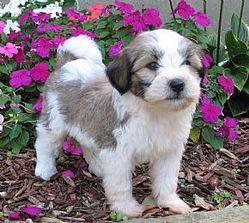 Speny, chien Terrier tibétain