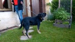 Spero, chien Beauceron