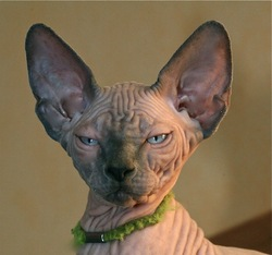 Sphynxcat's Gainsbourg, chat Sphynx