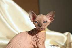 Sphynxcat'S H, chat Sphynx