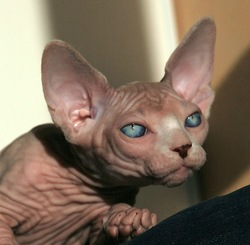 Sphynxcat'S Hina, chat Sphynx