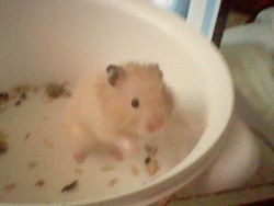 Spider Man, rongeur Hamster