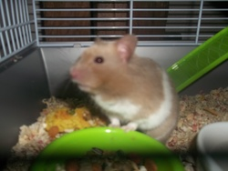 Spider, rongeur Hamster