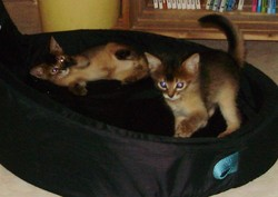 Spidou Et Papipo, chat Abyssin