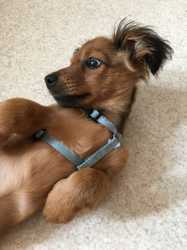 Spike, chien Bichon maltais