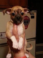 Spike, chien Chihuahua