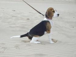 Spike, chien Beagle