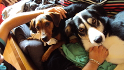 Spike, chien Husky sibérien