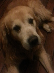 Spike, chien Golden Retriever