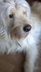 Spike, chien Griffon fauve de Bretagne