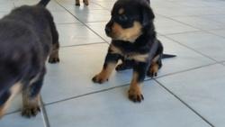 Spiki, chien Rottweiler