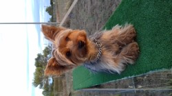 Spinou, chien Yorkshire Terrier