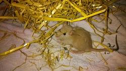 Spirit, rongeur Rat