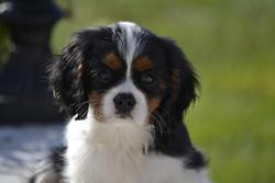 Spirit, chien Cavalier King Charles Spaniel