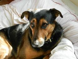 Spirou, chien Beauceron