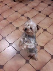 Spirou, chien Yorkshire Terrier