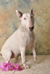 Splache, chien Bull Terrier