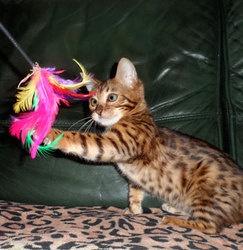 Splat, chat Bengal