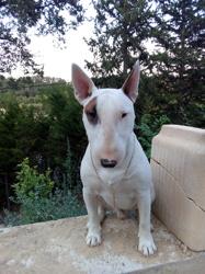 Splinter, chien Bull Terrier