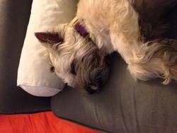 Spok, chien Cairn Terrier